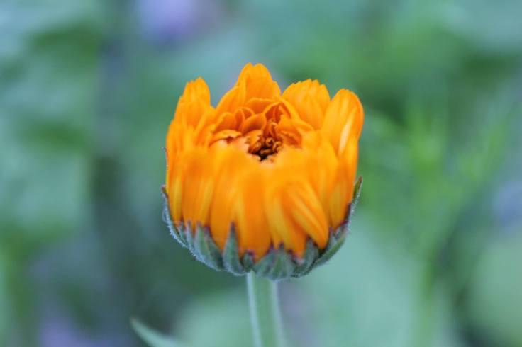 yellow flower opening