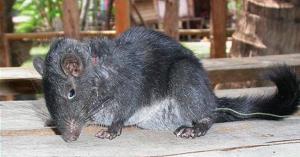 laotian-rock-rat-1814